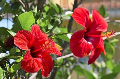 The Secrets to Growing Hibiscus Indoors – Laidback Gardener