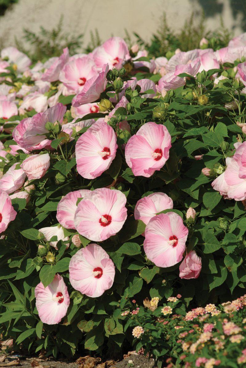 The Secrets To Growing Hibiscus Indoors Laidback Gardener