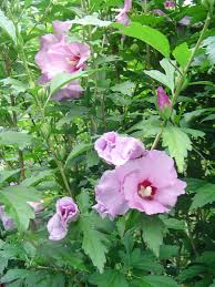 Rose of Sharon (Hibiscus rosa-sinensis)