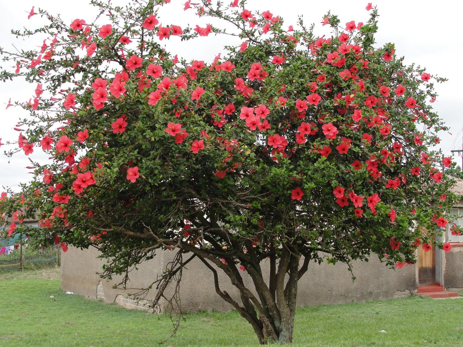 The secrets to growing hibiscus indoors laidback gardener izmirmasajfo