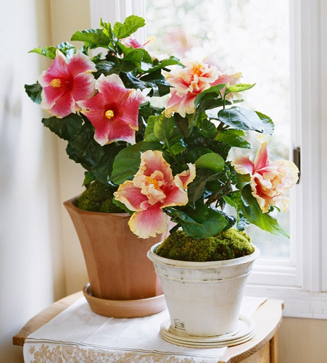 The Secrets To Growing Hibiscus Indoors