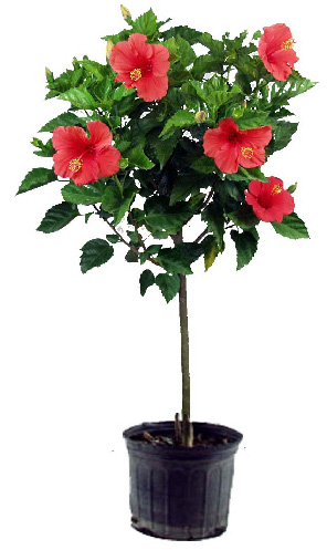 The Secrets To Growing Hibiscus Indoors Laidback Gardener