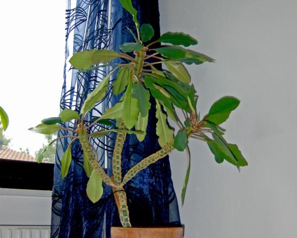 Euphorbia Leuconeura Laidback Gardener