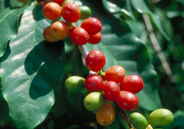 Coffee fruit - Coffea arabica