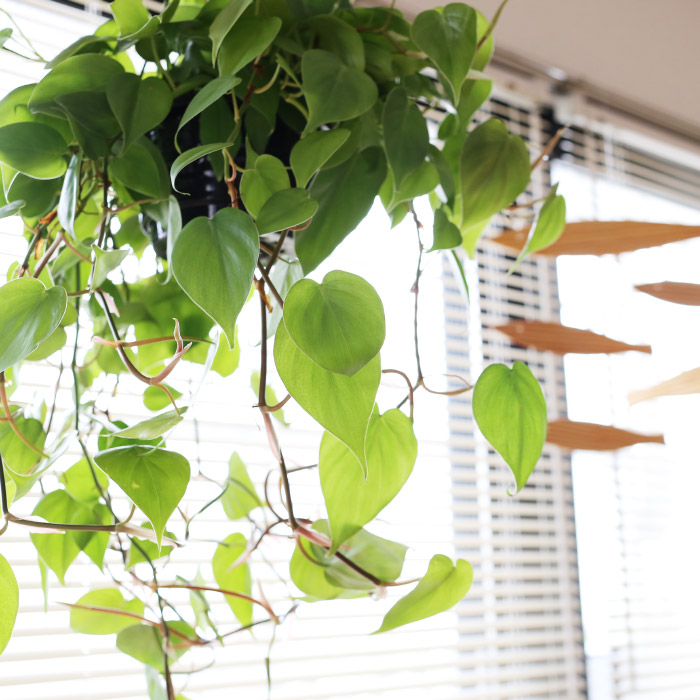 this dangling heartleaf oxycardium will produce smaller leaves than a climbing one - Climbing Plants