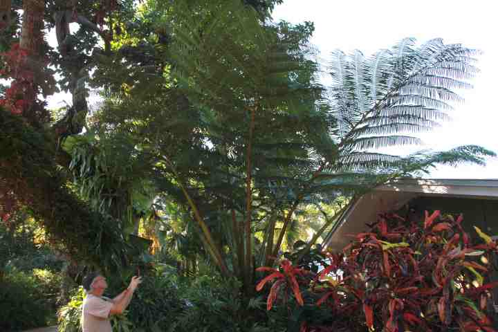 IMG_2462Angiopteris palmiformis.jpg