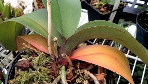 Help My Orchid Is Losing Its Leaves Laidback Gardener