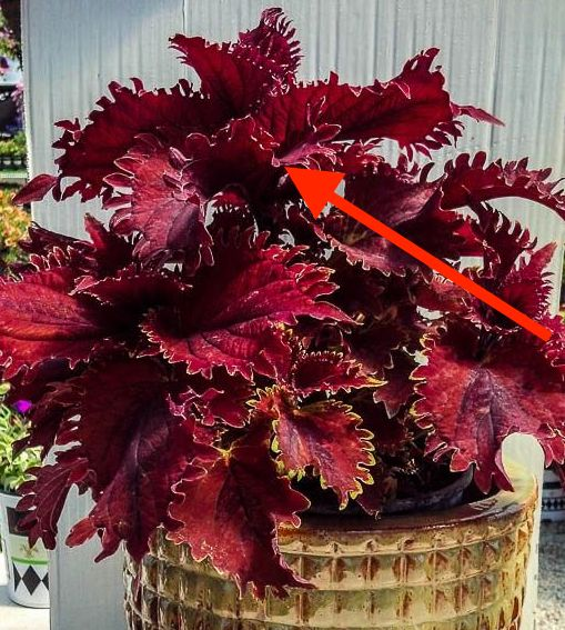 King Crab Coleus