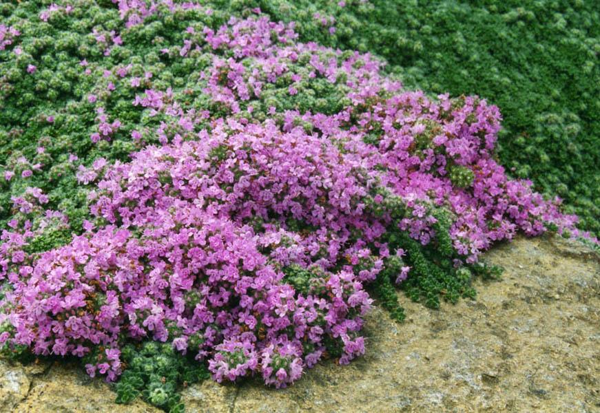 20170426H Ghislain118 (AD), www.fleurs-des-montagnes.net