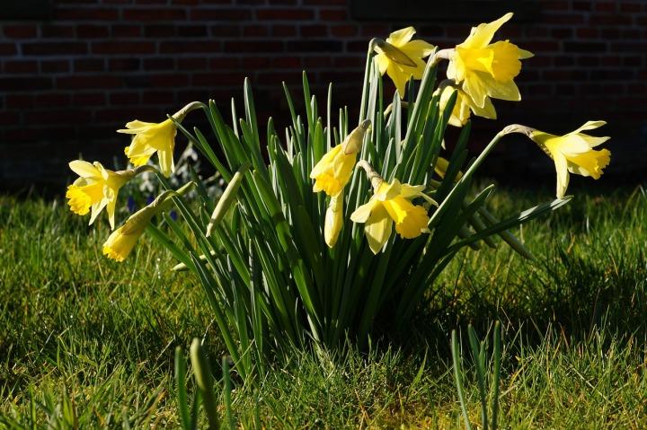 Daffodils Narcissus Pseudonarcissus Osterglocken