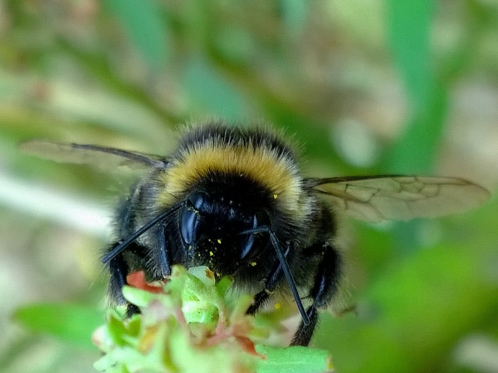 20170617G, Buzzy Bee, Kiwi Flickr