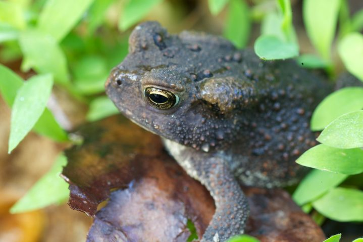 American Toad frog amphibian animal