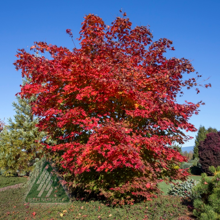 20170713C Acer x pseudosieboldianum North Wind - Autumn_5326.jpg