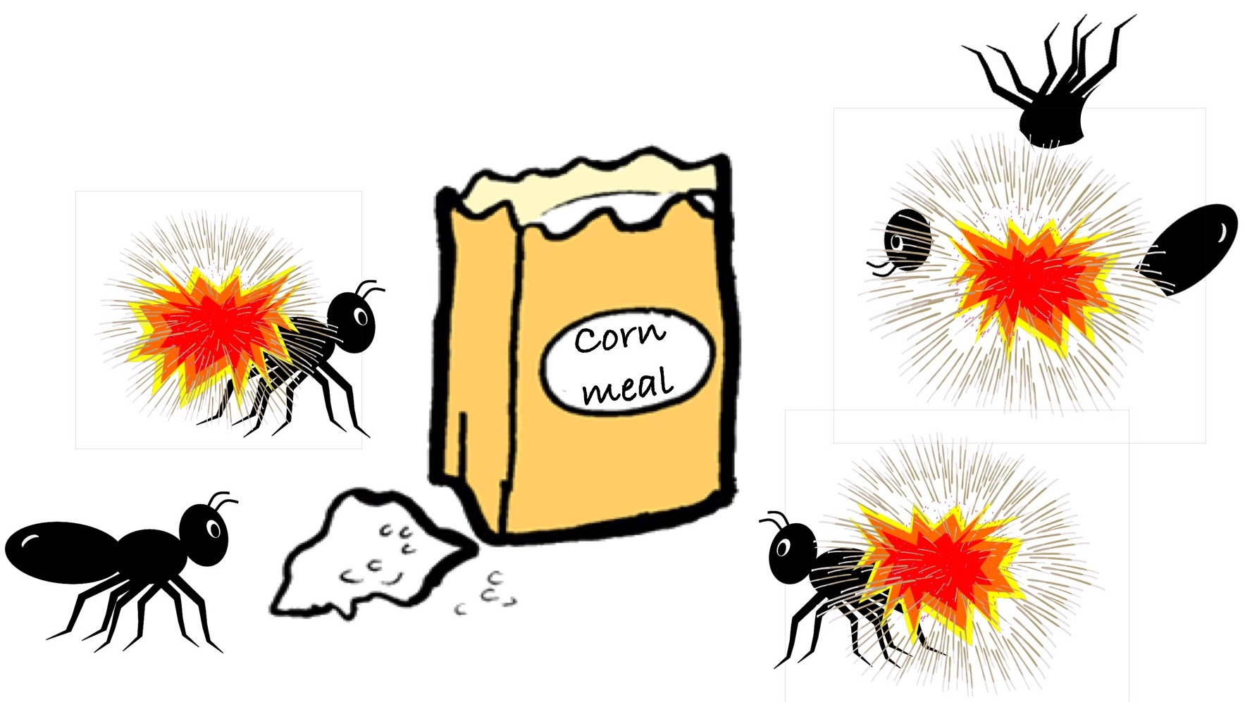 There Are All Sorts Of Garden Myths, But One Of The Strangest Is Certainly  The One That Suggests If You Put Out Cornmeal, It Will Make Ants Explode.