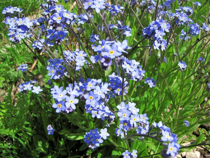 Small Blue Flowers Flower Myosotis Pet