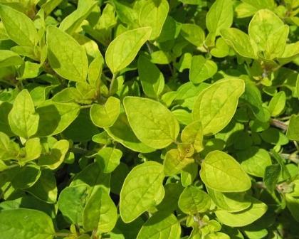 20170806B gardensoline.com.au OriganiumVulgareCu600Main.jpg