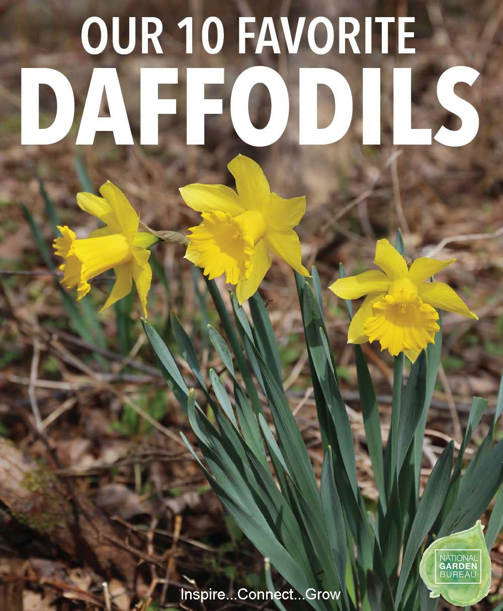 10-Favorite-Daffodils-NGB1