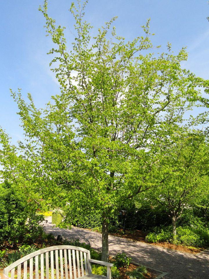 20170907F Carpinus_caroliniana, Daderot, WC