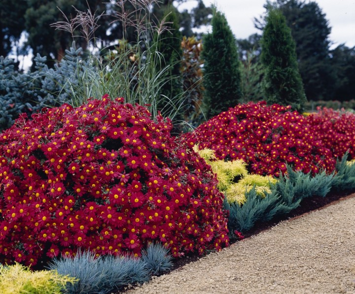 20170911C Mammoth Red Daisy Ball Horticultural Company