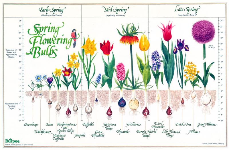 How Bulbs Plant Themselves Laidback Gardener