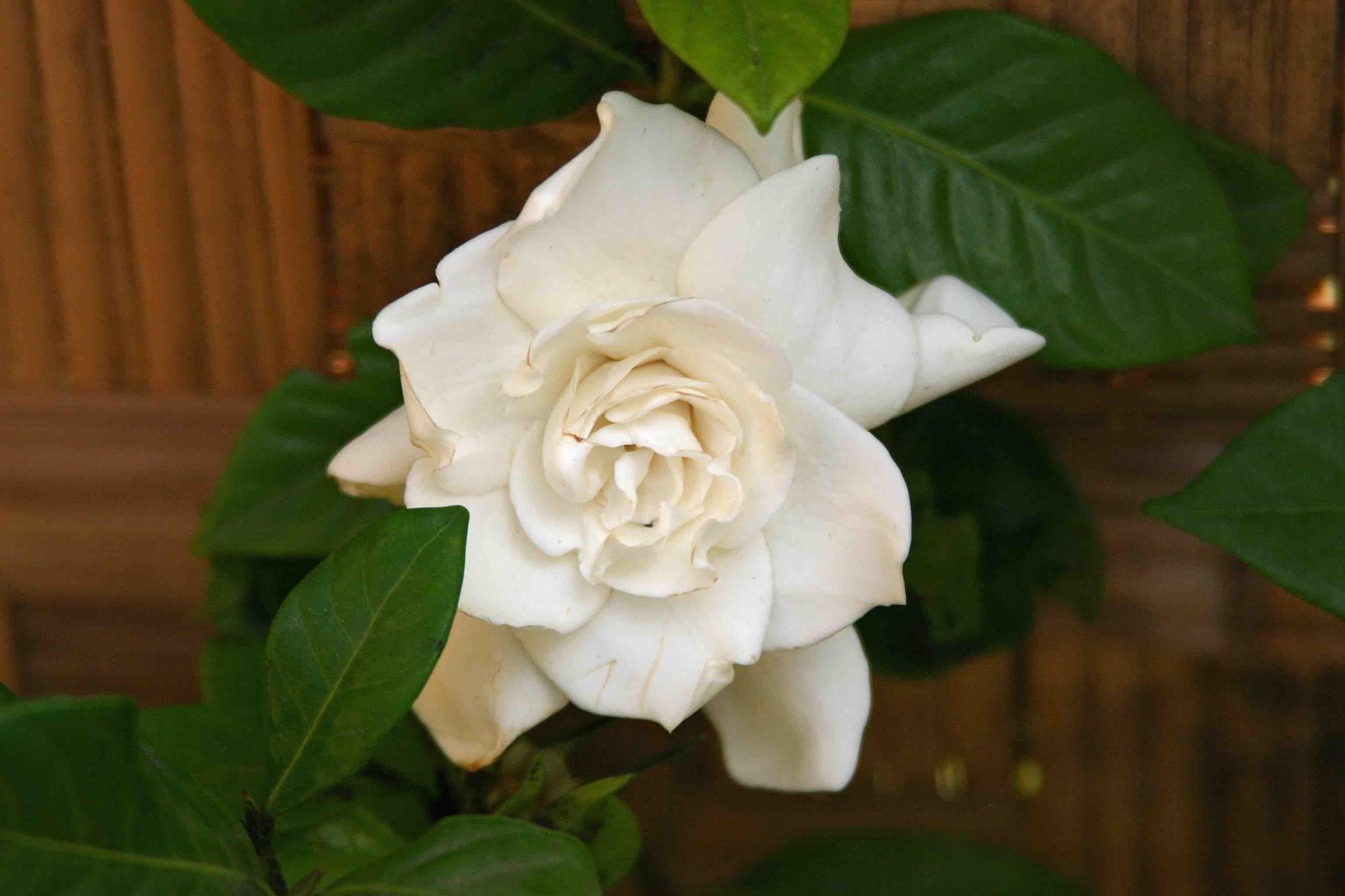 Why I Don't Grow Gardenias – Laidback Gardener