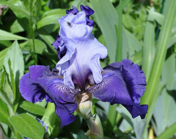 20171016A Iris_germanica 'Best_Bet' Moonik, WC.jpg