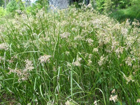 Carex Texensis Laidback Gardener