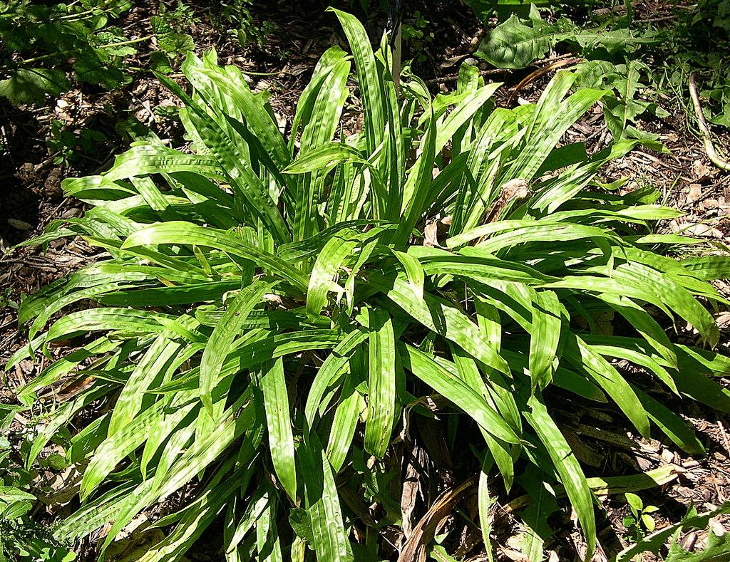 20171017C Carex plantaginea Jay Sturner, Flickr