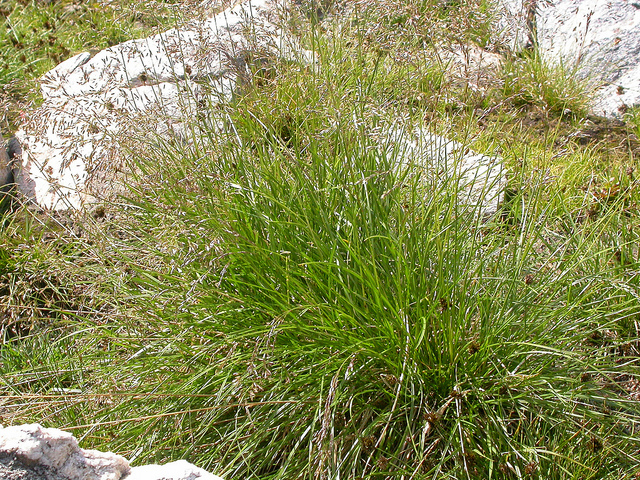 20171017F Deschampsia cespitosa Matt Lavin, Flickr