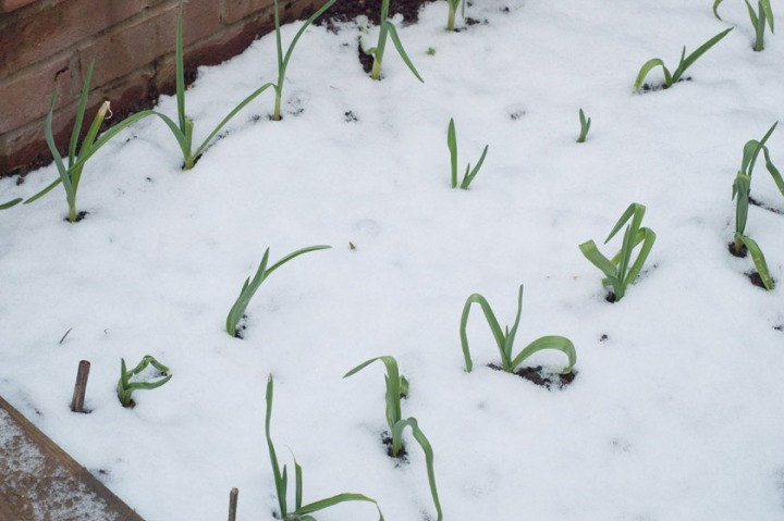 blog-snow-garlic.jpg
