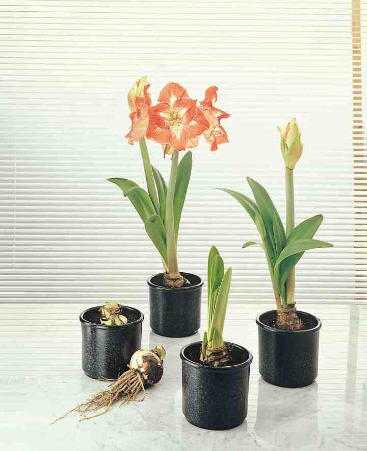 Why do we plant amaryllis bulbs with their neck exposed for Planter des amaryllis