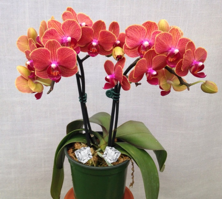 c98835faf2d5cb Should You Really Water Orchids With Ice Cubes  – Laidback Gardener