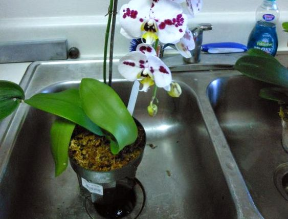 Should You Really Water Orchids With Ice Cubes Laidback Gardener