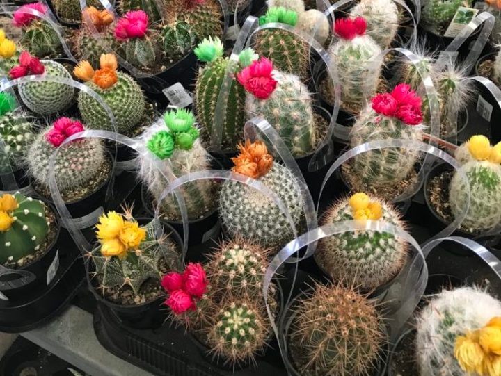 How To Recognize Fake Cactus Flowers Laidback Gardener