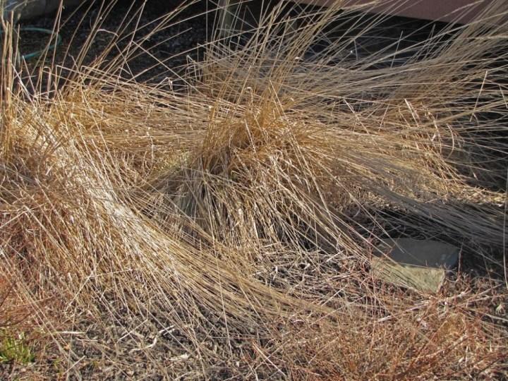 Les gramin es malmen es r sistent mieux l hiver for Quand tailler les graminees