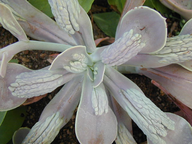 20171211L Echeveria gibbiflora carunculataarchivo.infojardin.com.jpg