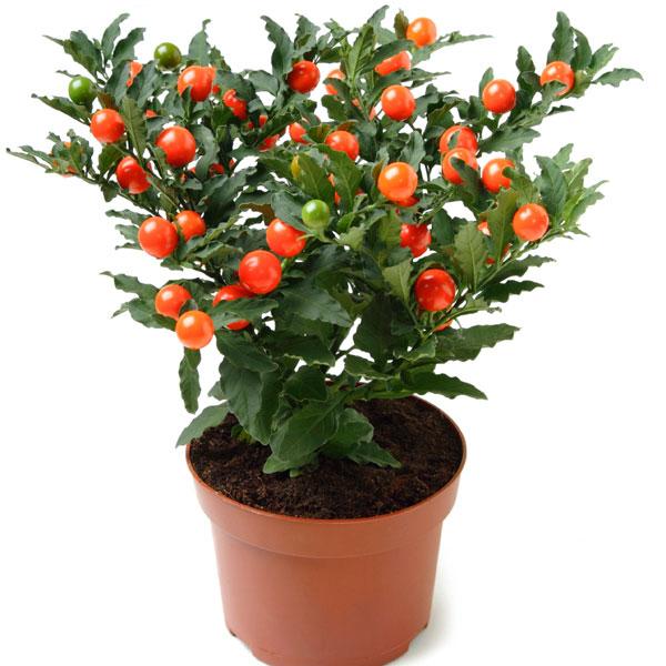 20171226A Solanum pseudocapsicum Pick Ontario.jpg