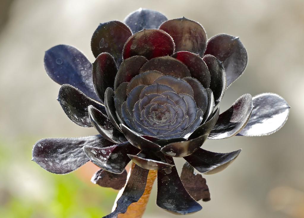 20171227C Aeonium arboreum 'Atropurpureum' Bernard Dupont, WC.jpg