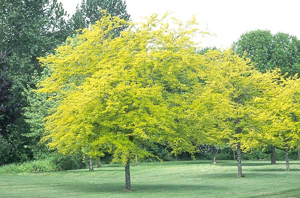 20171230A Gleditsia triacanthos 'Sunburst' oregonstate.edu.jpg