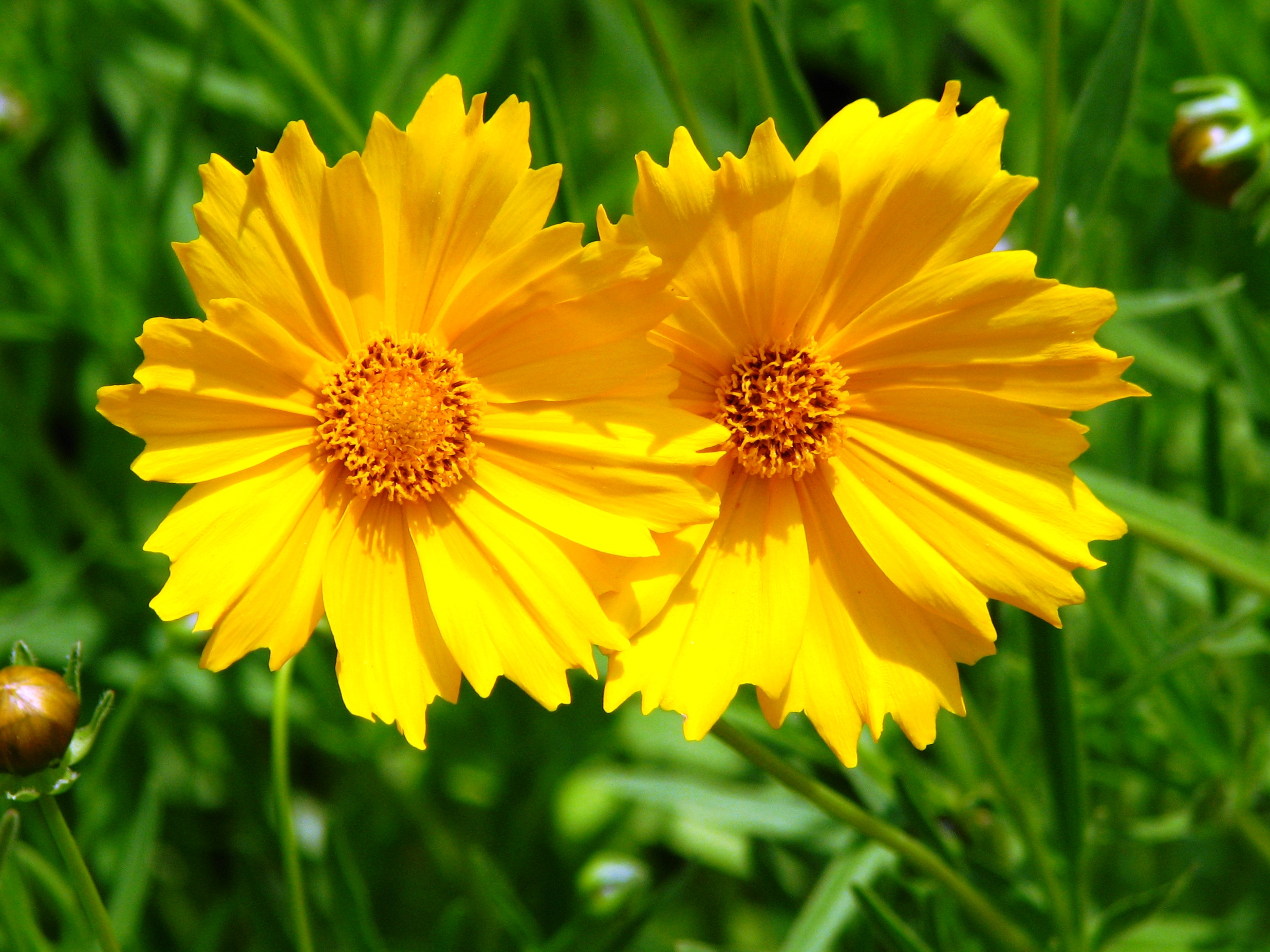 2018 The Year Of The Coreopsis Laidback Gardener