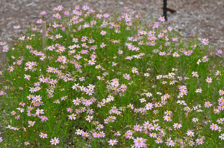 20180102G Coreopsis rosea 'American Dream' mtcubacenterorg