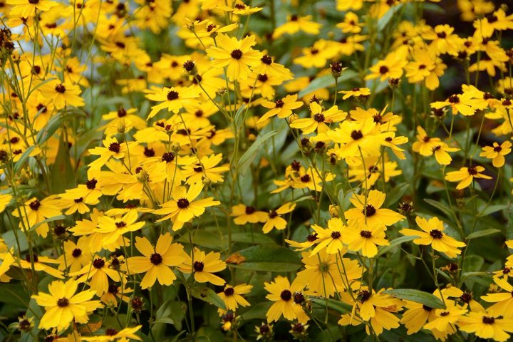 20180102Y Coreopsis palustris 'Summer Sunshine' .jpg
