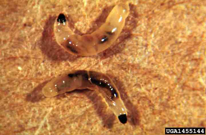 20180111C larve de sciaride ag.umass.edu.jpg