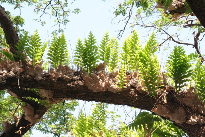 20180114D Drynaria quercifolia, avrotor.blogspot.ca.JPG