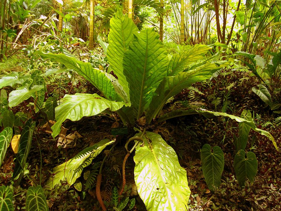20180114F Anthurium salvinii, www.htbg.com.jpg
