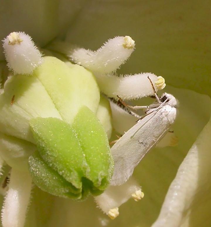 20180115J yucca_moth, Google Images.jpg