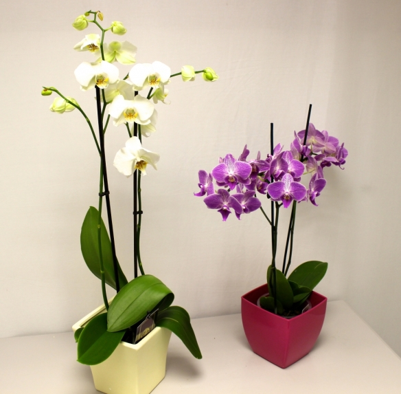 How To Make Phalaenopsis Rebloom Laidback Gardener