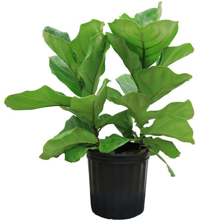 20180126G Ficus lyrata, olinsailbot.coms