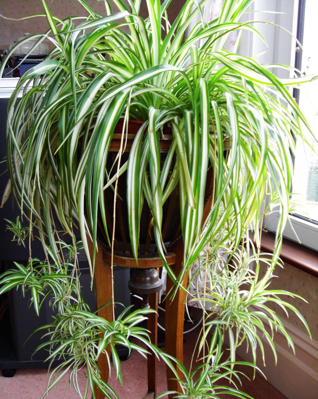 20180126L Chlorophytum comosum 'Vittatum' brightside.me.jpg