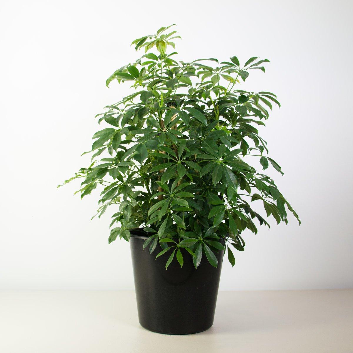 20180126N Schefflera arboricola www.plantandpot.nz